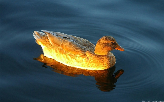 Dan Porcupine Sunny duck lake-Animal High Quality Wallpaper Views:1265