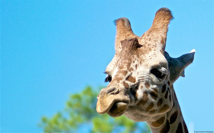 Giraffe naples zoo-Animal High Quality Wallpaper Views:1471