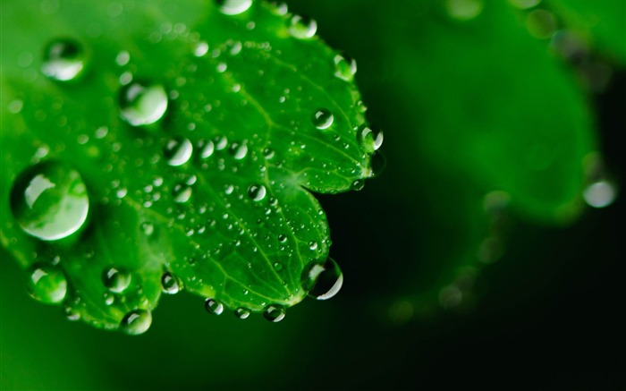 Leaves drops face carved-Plants Macro HD Wallpaper Views:931
