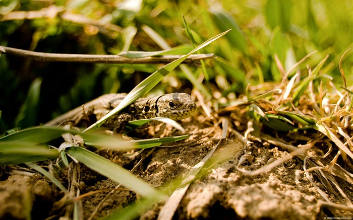 Matei Andrei Alexandru lizard in grass-Animal High Quality Wallpaper Views:1271