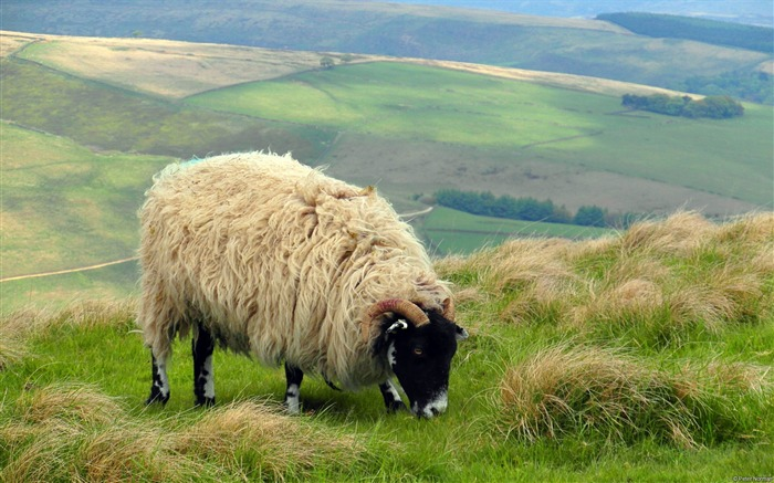 Peter Norman Sheep castleton uk-Animal High Quality Wallpaper Views:1449