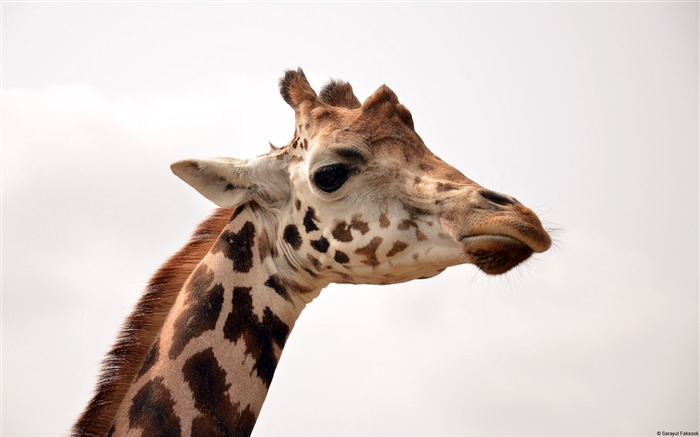 Saray Utfaksook Giraffe-Animal High Quality Wallpaper Views:1671