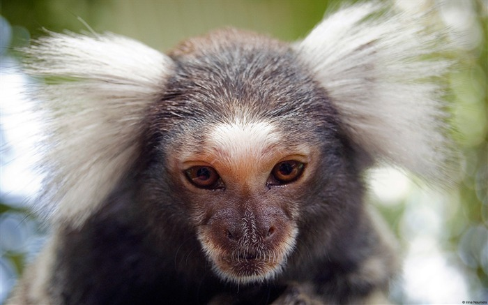 Western cape south africa monkey-Animal High Quality Wallpaper Views:1297