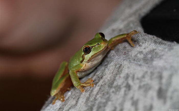 duncan lawler tree frog-Animal High Quality Wallpaper Views:1135