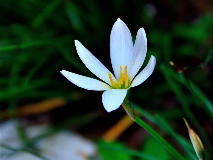 Zephyranthes Candida Flower Macro Photo Theme Wallpaper Views:3490
