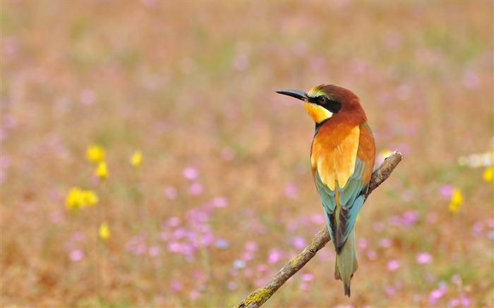 Bee-eater golden flowers-Animal High Quality Wallpaper Views:537