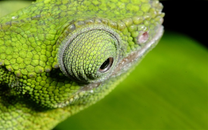 Chameleon color eyes-Animal High Quality Wallpaper Views:1368