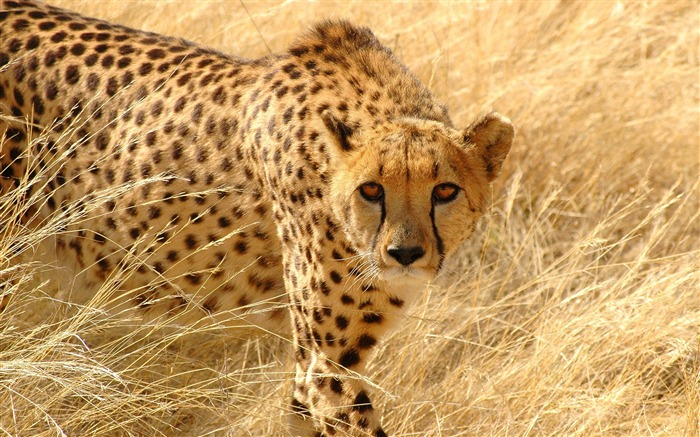 Cheetah grass hunt look attentive-Animal High Quality Wallpaper Views:1332