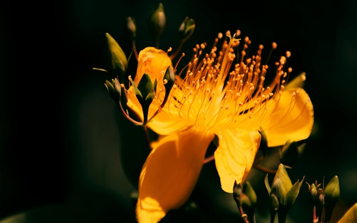 Hypericum-2016 Flowers Macro HD Wallpaper Views:3404 Date:11/13/2016 8:38:34 AM