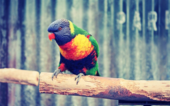 Parrot branch colorful-Animal High Quality Wallpaper Views:557