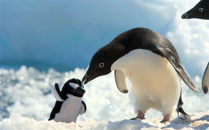 Penguins snow baby care-Animal High Quality Wallpaper Views:759