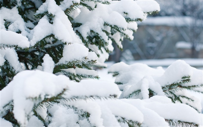 Spruce snow winter branches-2016 Nature HD Wallpaper Views:1648