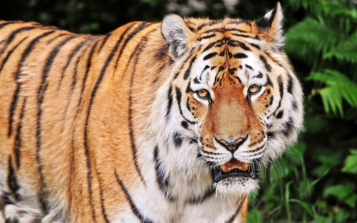 Tiger aggression striped-Animal High Quality Wallpaper Views:495