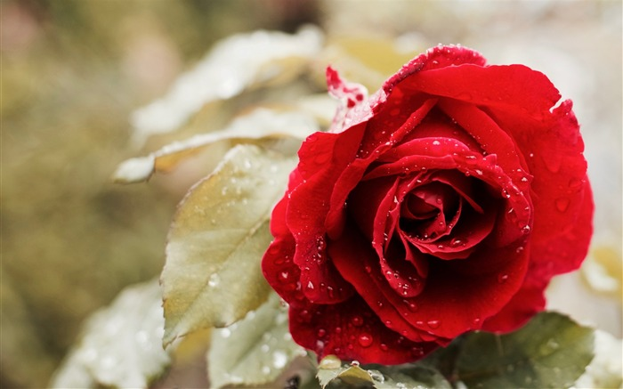 Beautiful red rose-Flowers Photo HD Wallpaper
