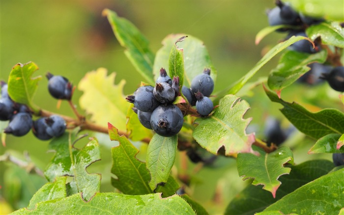 Berry branch ripe-2016 High Quality HD Wallpaper
