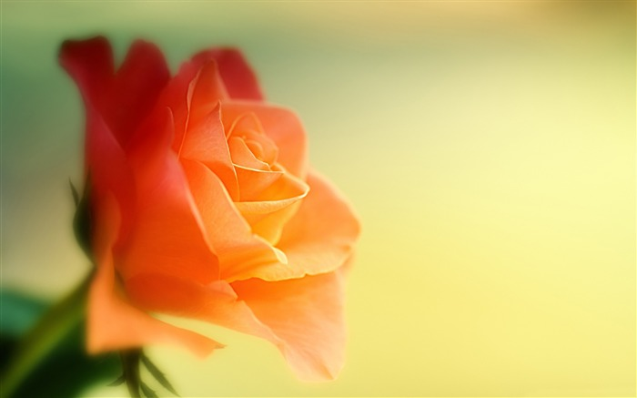 Dreamy pink rose-Flowers Photo HD Wallpaper