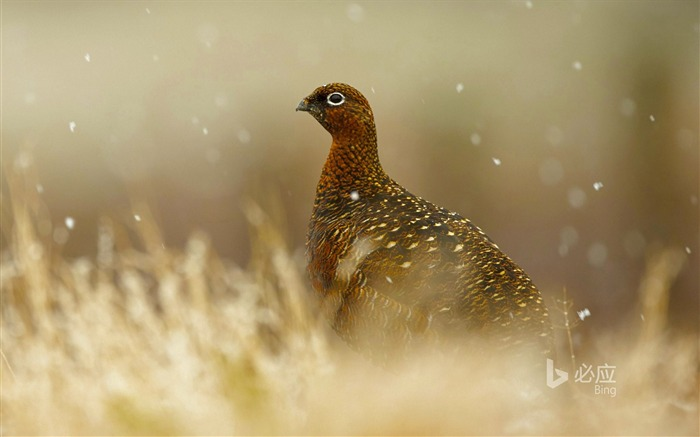 English Scottish grouse-2016 Bing Desktop Wallpaper Views:514
