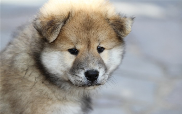 Eurasier puppy dog-2016 Animal High Quality Wallpaper