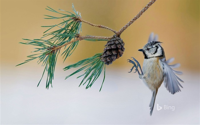 France crested tit lands on a pine tree-2016 Bing Desktop Wallpaper