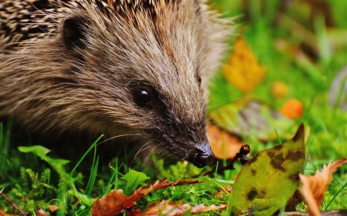 Hedgehog spines leaves-2016 Animal High Quality Wallpaper