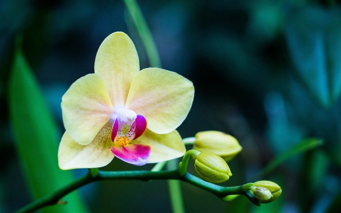 Orchid flower bud petals-Flowers Photo HD Wallpaper Views:1450