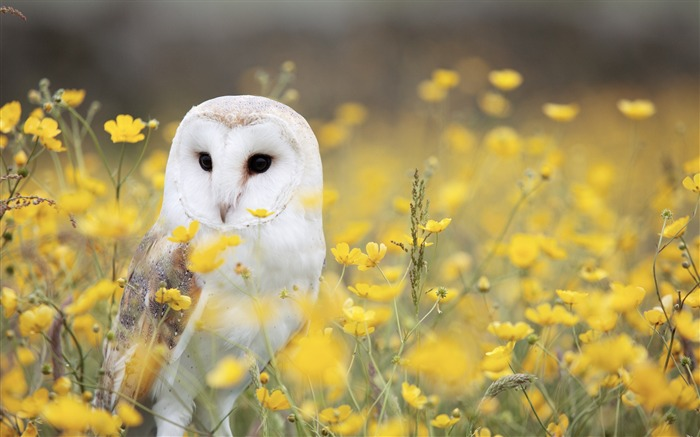 Owl barn bird predator-2016 Animal High Quality Wallpaper Views:1492