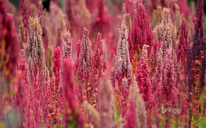 Pink Quinoa plants in Peru-2016 Bing Desktop Wallpaper Views:898