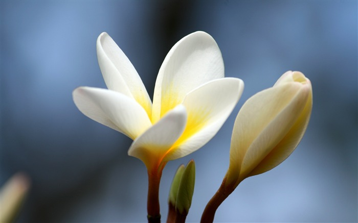 Plumeria flower bud close-up-Flowers Photo HD Wallpaper