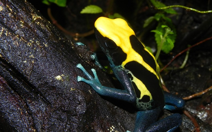 Poison dart frog color reptile-2016 Animal High Quality Wallpaper Views:1442