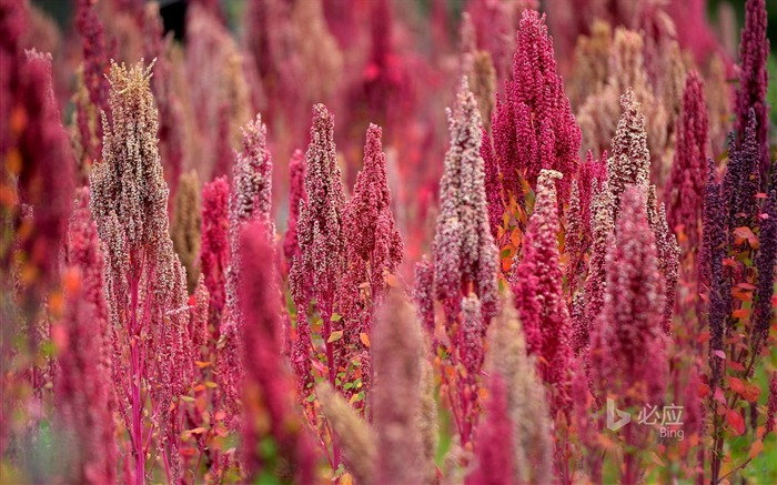 Quinoa of Peru-2016 Bing Desktop Wallpaper Views:474