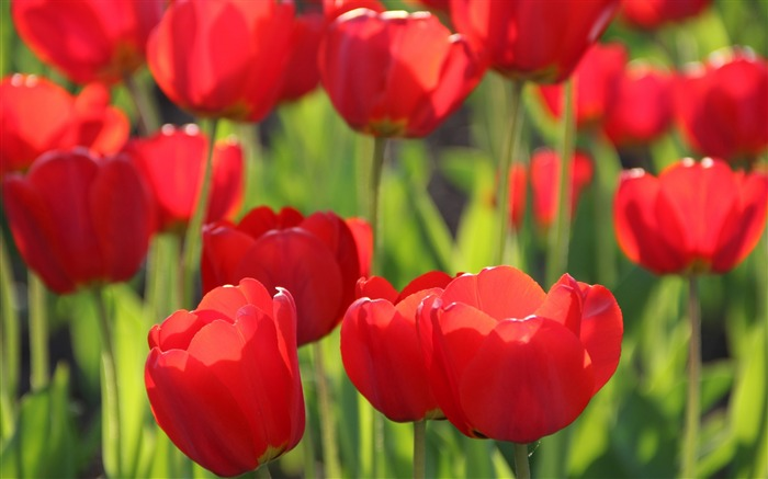 Red tulips close-up-Flowers Photo HD Wallpaper Views:1499