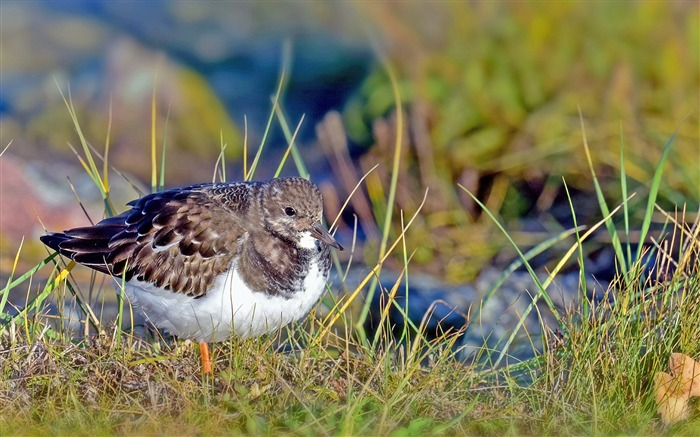 Sandpiper bird grass-2016 Animal High Quality Wallpaper Views:996