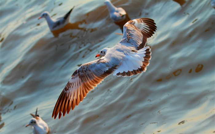 Seagulls birds flying sea-2016 Animal High Quality Wallpaper Views:608