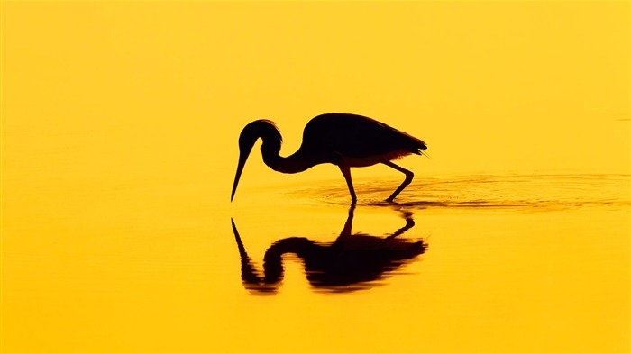 Silhouette of a heron-2016 Bing Desktop Wallpaper Views:643
