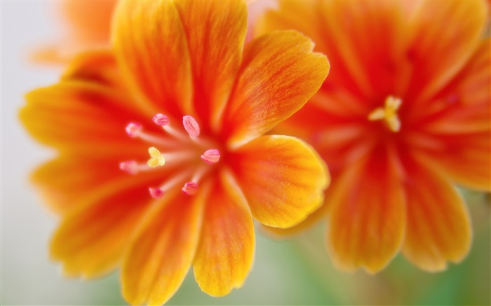 yellow lewisia flowers-High Quality HD Wallpaper