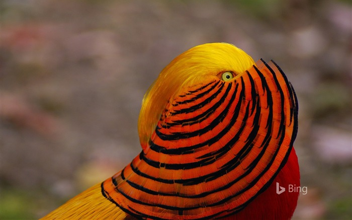 A male golden pheasant-2017 Bing Desktop Wallpaper Views:803