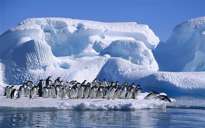 Antarctic continent penguin animal wallpaper 03 Views:3481 Date:2/5/2017 7:33:48 AM