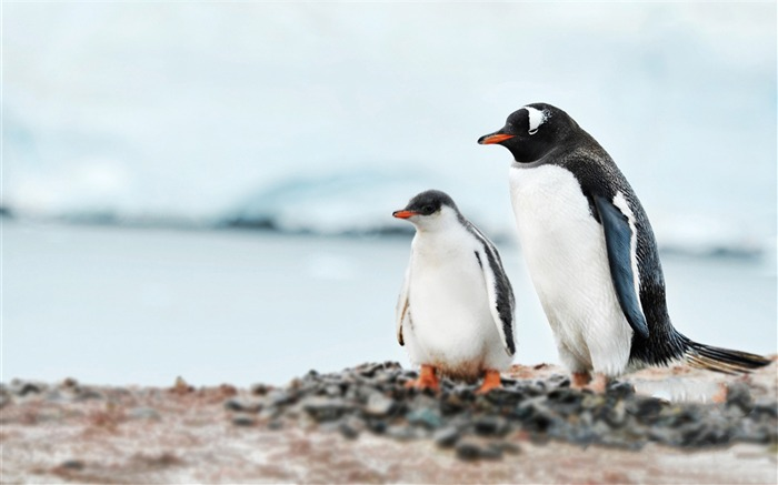 Antarctic continent penguin animal wallpaper 05 Views:2857 Date:2/5/2017 7:34:49 AM