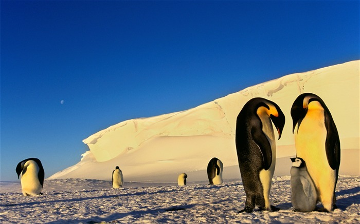 Antarctic continent penguin animal wallpaper 10 Views:2572 Date:2/5/2017 7:37:05 AM