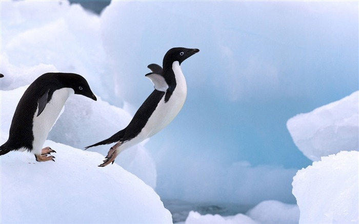 Antarctic continent penguin animal wallpaper 19 Views:4038 Date:2/5/2017 7:41:36 AM