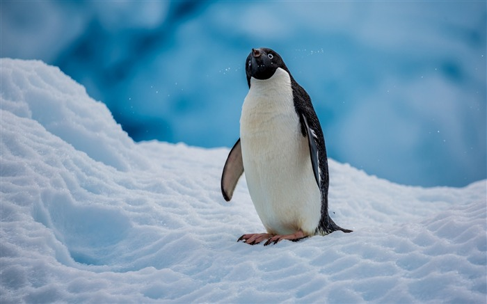 Antarctic continent penguin animal photo wallpaper Views:4462