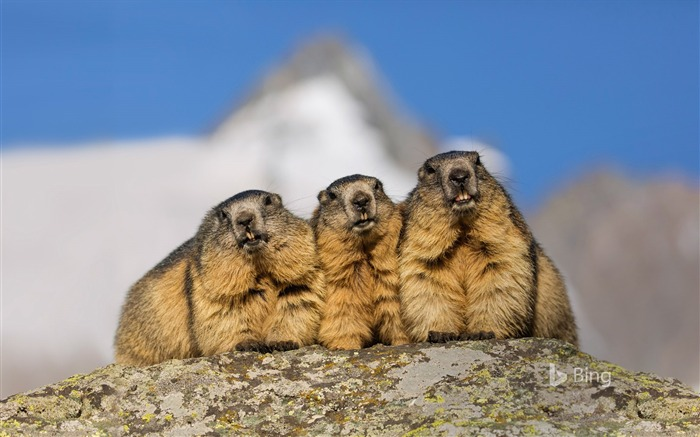 Austria Alpine Marmots Alpine Road-2017 Bing Desktop Wallpaper Views:1494