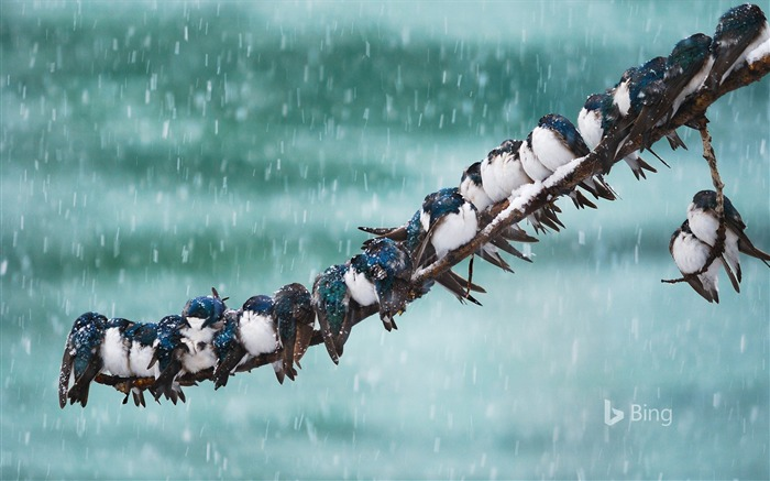 Canada Tree Swallows In Snowstorm-2017 Bing Desktop Wallpaper Views:641