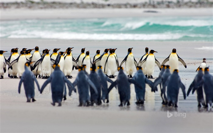 Falkland Islands King penguins at Volunteer Point-2017 Bing Desktop Wallpaper Views:342