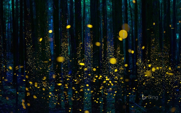 Japan Fireflies illuminate a forest in Shikoku-2017 Bing Desktop Wallpaper Views:1791