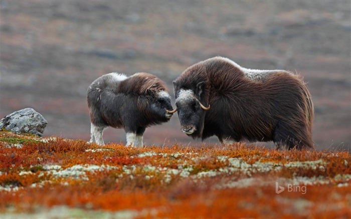 Norway A musk ox in National Park-2017 Bing Desktop Wallpaper Views:1294