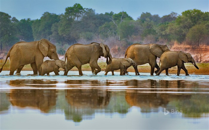 Zambia Elephants crossing Luangwa River-2017 Bing Desktop Wallpaper Views:1011
