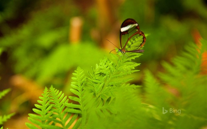 A glasswing butterfly perched on a leaf-2017 Bing Desktop Wallpaper Views:339