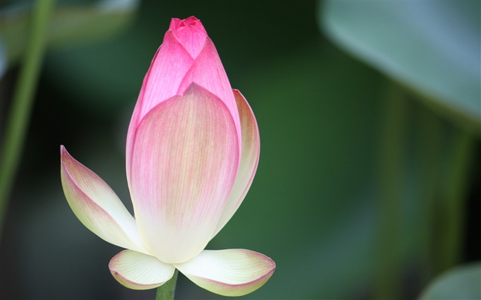 Blooming Pink Lotus Photo Desktop Wallpaper 05