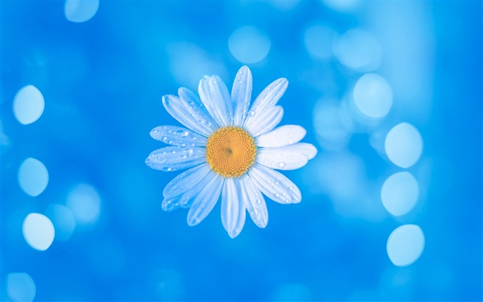 Chamomile Blue Bokeh-2017 High Quality Wallpapers
